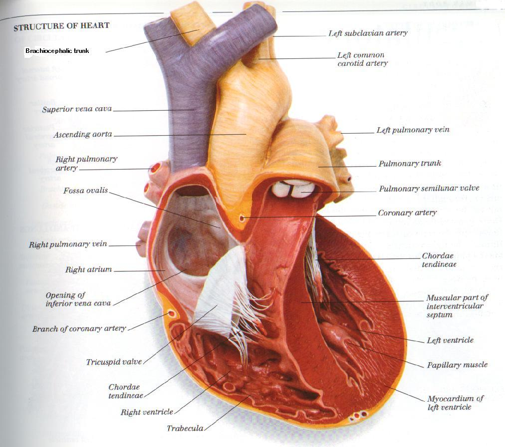 Circulatory system diagram of the human heart pooptronica