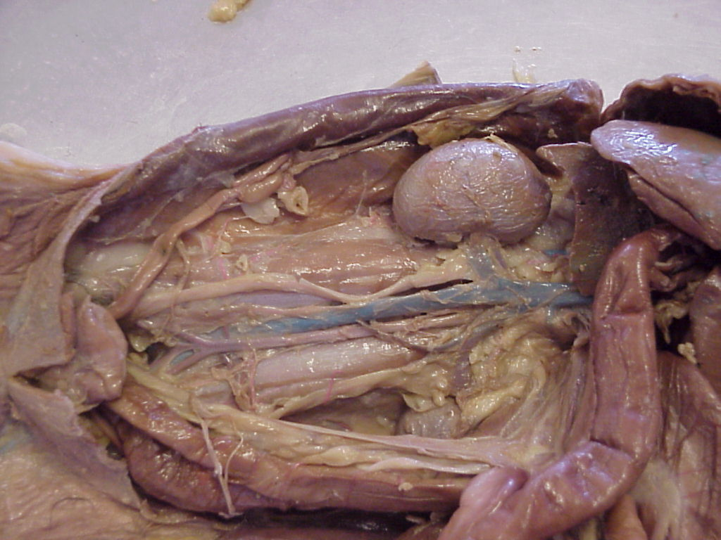cat dissection Virtual dissections  cat dissection: this virtual dissection can be used in place of an in-lab dissection (   ).