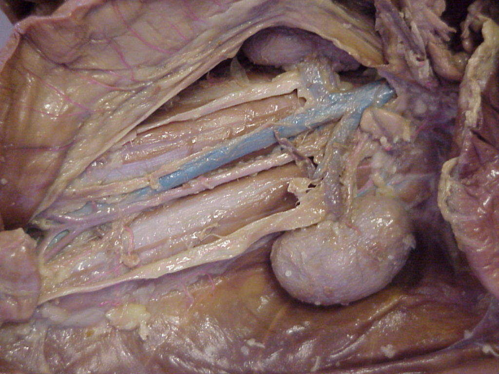 cat dissection structures Course descriptions  the laboratory sessions require preserved cat dissection and identification of anatomical structures on a prosected cadaver.