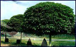 Algunas especies de plantas que utilizamos en la creaci n for Arboles frutales de hoja perenne para jardin