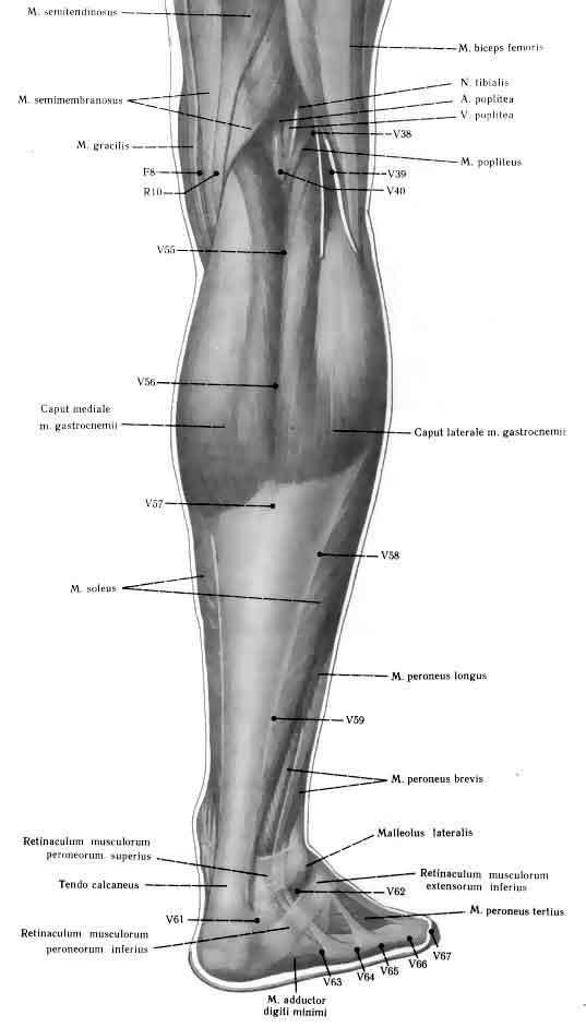 Atlas ankle and foot back wiev