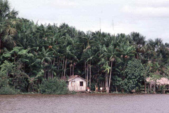 Resultado de imagem para imagens de paisagem amazonica com açaizal