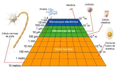 Tabla comparativa del microscopio electrónico y óptico