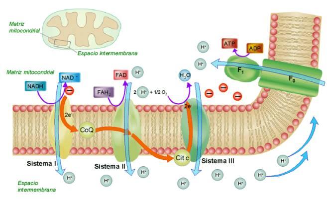 Tiene más preguntas sobre como acelerar el metabolismo basal?
