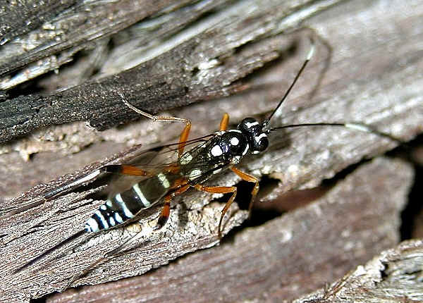 Black and white large wasp for pinterest