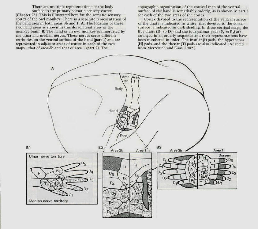 Somatic Senses Education: Somatotopic Map Plasticity
