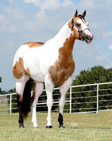 Razas de caballos for Caballos cuarto de milla