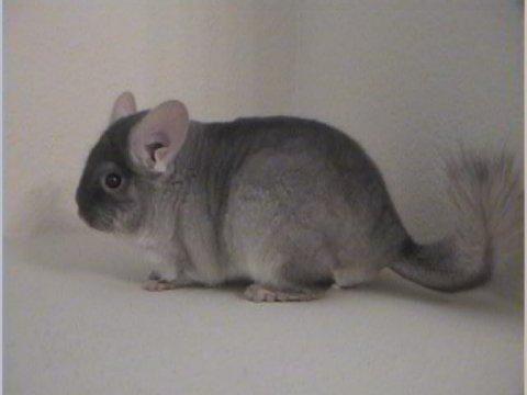 Homo ebony chinchilla for sale