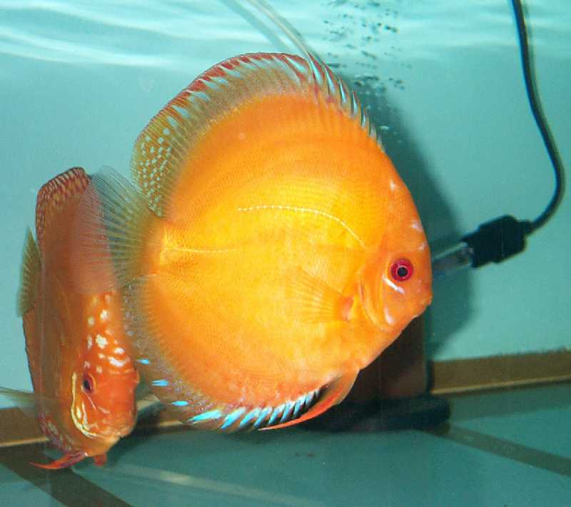 Choice discus for Solid gold fish