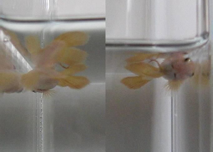 Crazy for bettas for Betta fish swim bladder