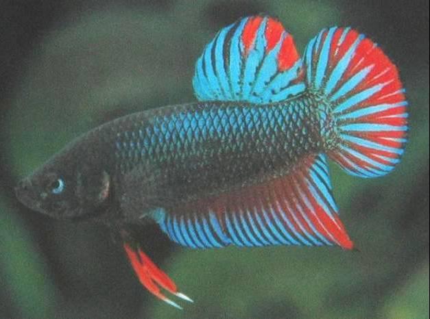 Daniel chia 39 s betta barracks for Wild betta fish