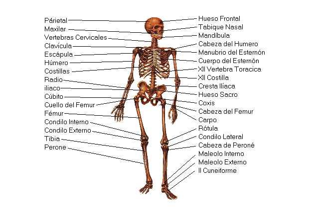 SISTEMA OSTEOARTICULAREl cuerpo humano es una complicada estructura ...