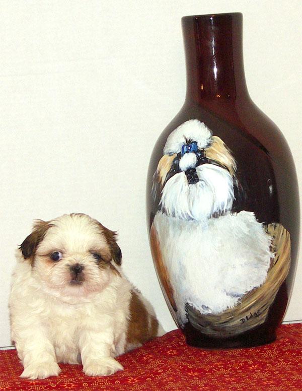 Georgia Shih Tzu Breeder Dee Jays Shih Tzu Home Shih Tzu Puppies