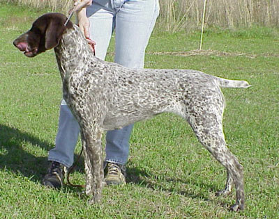 DELTA German Shorthair...