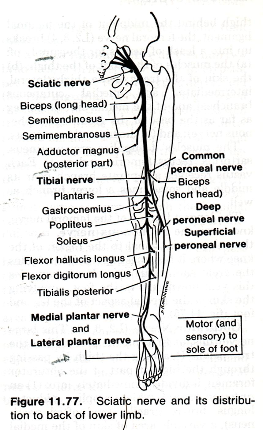 Asombroso Diagrama Nervio Pierna Foto - Anatomía de Las Imágenesdel ...