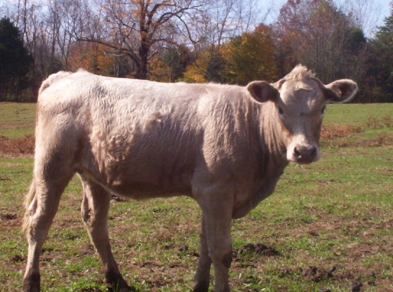 Go back gt gallery for gt beefalo
