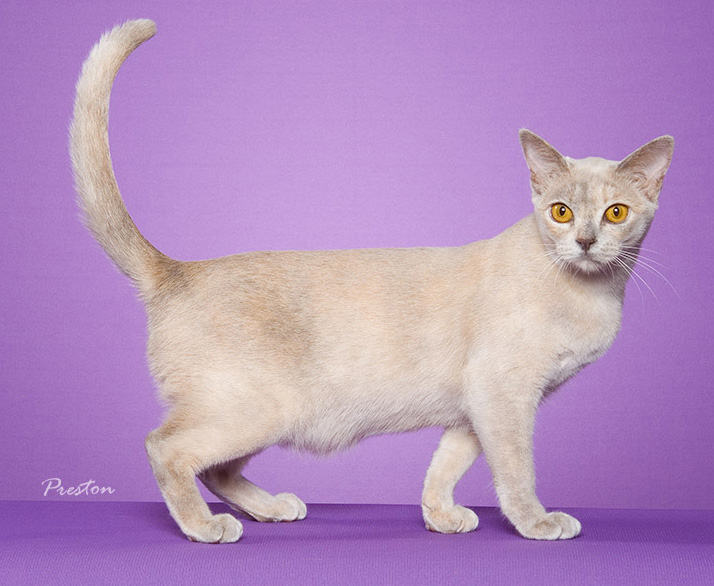Lilac cat color