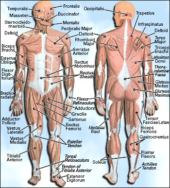 muscularsystem,
