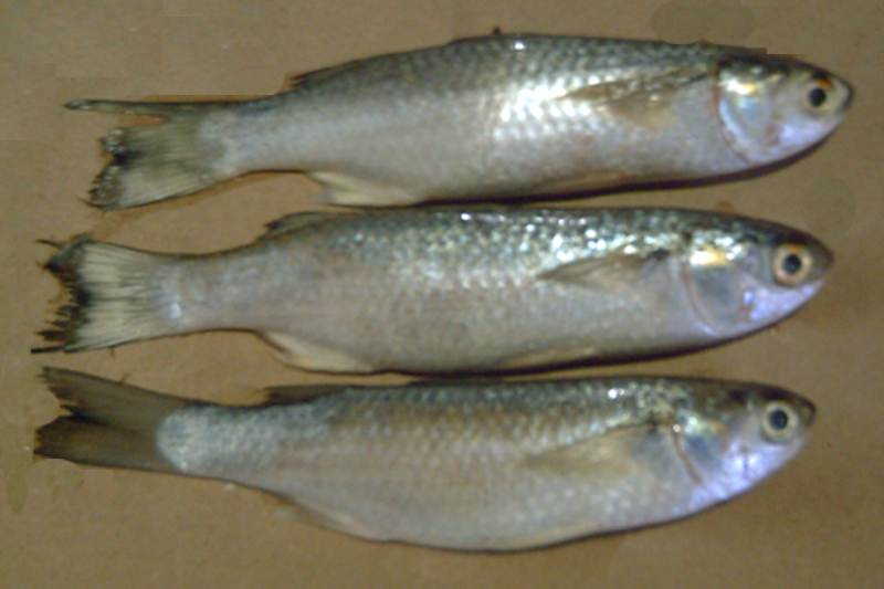 Hasta yudhistira group absolute premium quality seafood for Mullet fish bait
