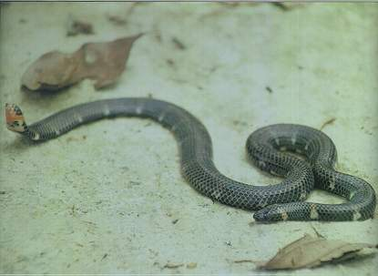 Red-tailed Pipe Snake (non-venomous)