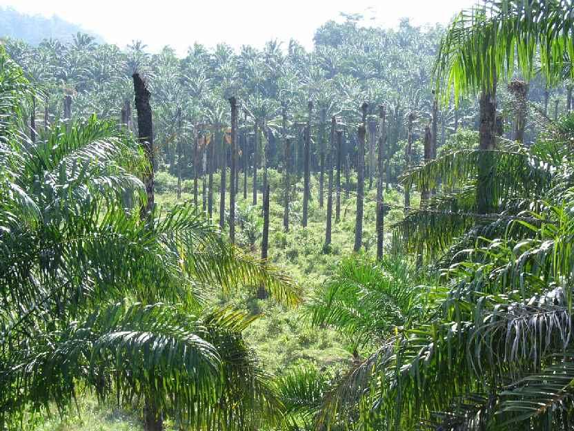 [Bild: dead_oil_palm_forest.jpg]