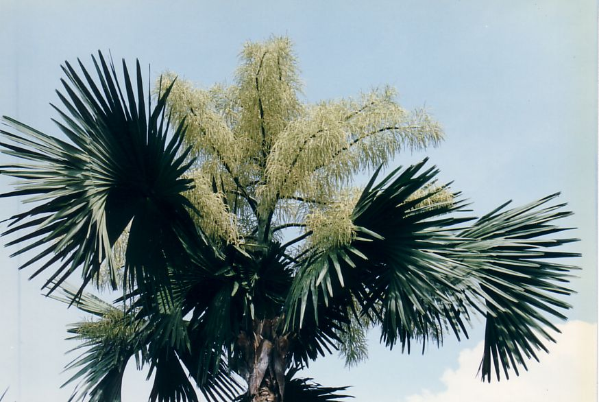 [Bild: talipot_palm_bloom.jpg]