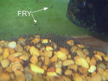 Jack Dempsey fry log