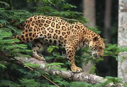 Jaguar on Jaguars Endagered