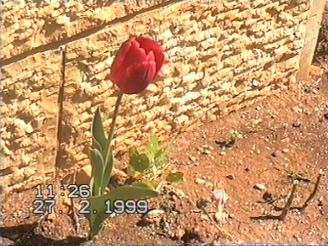 Flowers Of Jerusalem Tulips