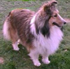 Ohio Sheltie Breeder Ohio Shelties