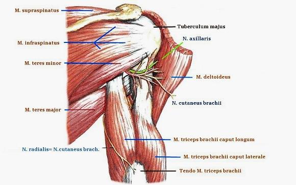 Rotatoren, Rotatorenmanschette, Muskeln, Schultern, Oberarm ...