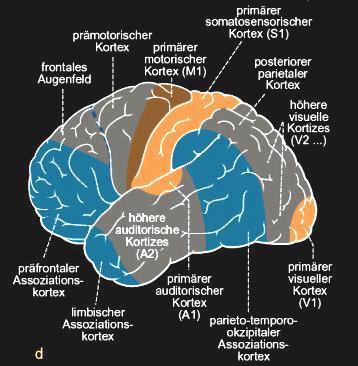 Gliederung des linken Neokortex und seiner Assoziationsbahnen