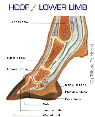 Equine Anatomy and Physiology