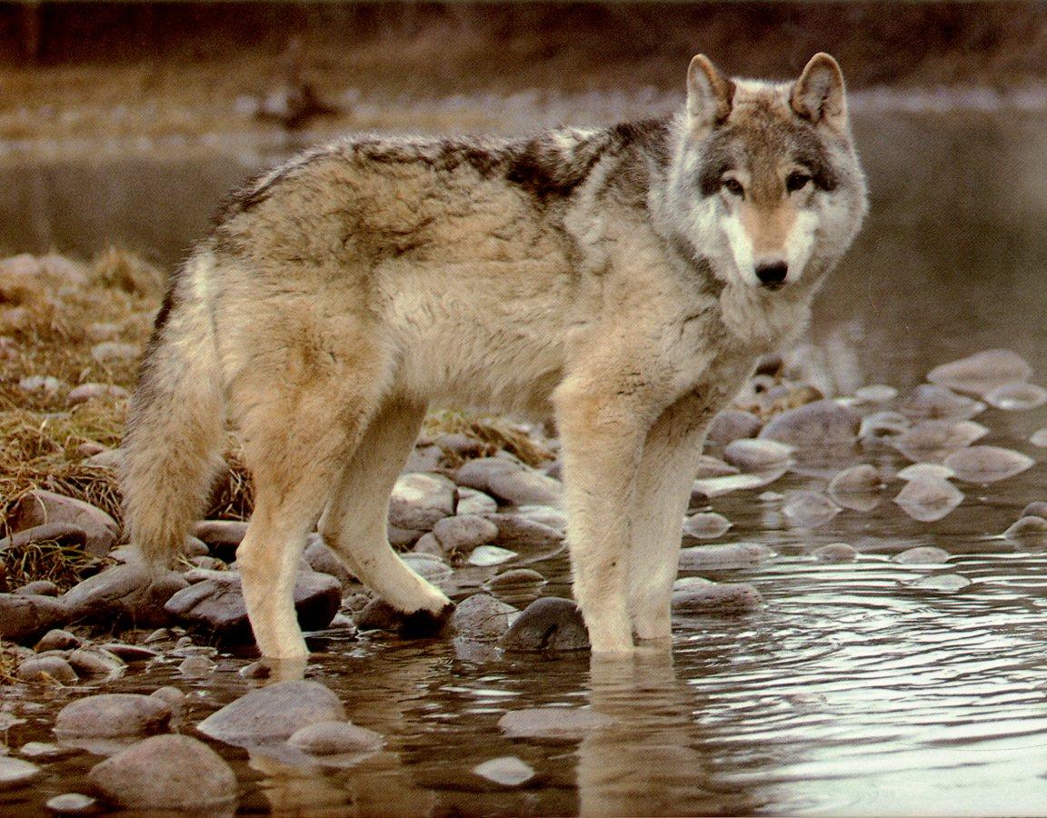 wolf ws