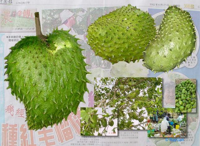 guyabano for cancer Soursop leaves for health benefits - soursop leaf is a useful plant from the caribbean  not just any cure cancer, soursop leaves is also beneficial to cure the tumor.