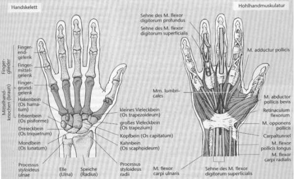 Linkshänder in einer Rechtshandgesellschaft - Physiologische Grundlagen