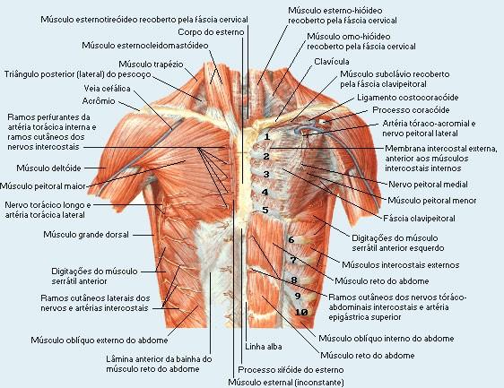 Anatomia Humana - Sistema Muscular - Tórax