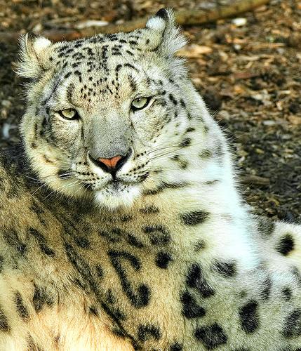 More Snow Leopards