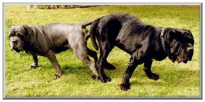 Dog Tie During Breeding