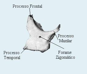 Anatomia humana osteologia cabe a face zigom tico for Esterno e um osso irregular
