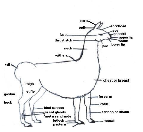 Alpaca Anatomy Diagram as well Lamb furthermore Haunch Loin Sirloin additionally Beef Cow Parts Diagram further Cutting Diagram Of Hog. on cow meat cuts