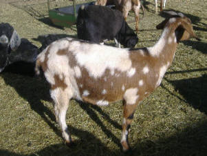 Y Not Goat the O Y Knot Goats Ran...