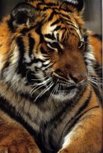 waarom hebben tijgers strepen
