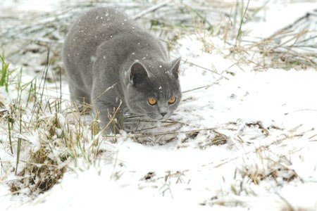 Pawsable British Shorthair Home Page