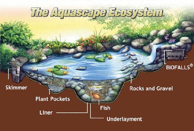 Pond builders llc the aquascape ecosystem for Garden pond ecosystem