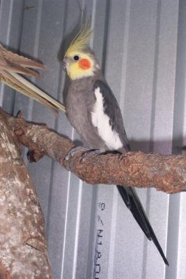 Grey Cockatiels