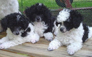 Toy Poodle Toy Poodle Dog Breeder Toy Poodle Puppies For