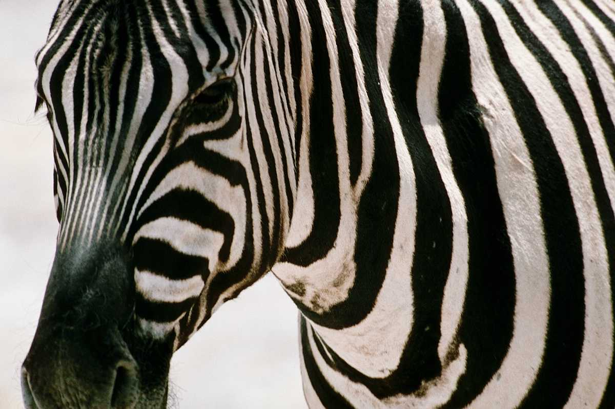 consider the zebra to be a  Zebra Head Profile