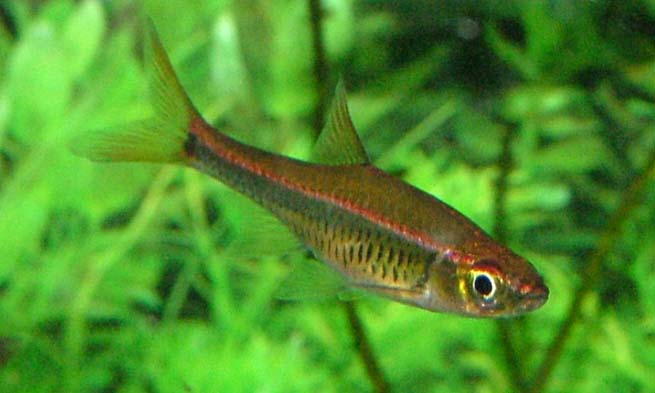 for exle can be seen red tailed rasbora demand at