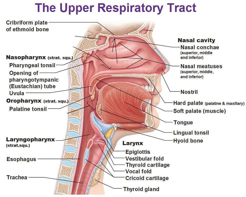 Fill In Diagram Lungs Toyskids